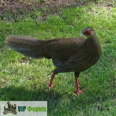 фото фазан серебристый